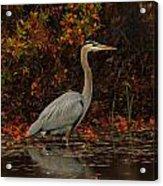 Blue Heron In The Fall Acrylic Print