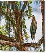 Blue Heron In Tree Acrylic Print