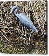 Blue Heron Lacassine Acrylic Print