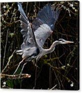 Blue Heron Lift Off Acrylic Print