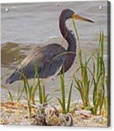 Blue Heron On Oyster Shell Beach Acrylic Print