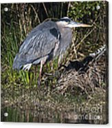 Blue Heron On The Hunt Acrylic Print