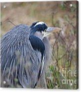 Blue Heron Reflecting Acrylic Print
