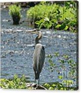 Blue Heron River Fishing  Acrylic Print