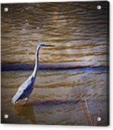 Blue Heron - Shallow Water Acrylic Print