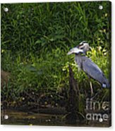Blue Heron With A Fish-signed Acrylic Print