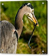 Blue Heron With A Snake In Its Bill Acrylic Print