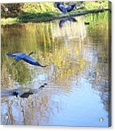 Blue Herons On Golden Pond Acrylic Print