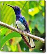 Blue Humming Bird Acrylic Print
