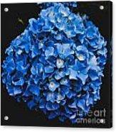 Blue Hydrangea 1 Acrylic Print