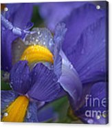 Blue Iris Close Up Acrylic Print