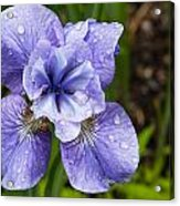 Blue Iris Flower Raindrops Garden Virginia Acrylic Print