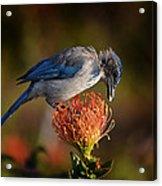 Blue Jay 1 Acrylic Print