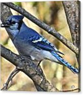 Blue Jay 112 Acrylic Print