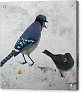 Blue Jay And Junco Acrylic Print