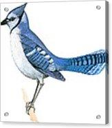Blue Jay  Acrylic Print