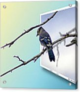 Blue Jay Branch Acrylic Print