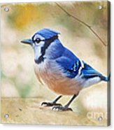 Blue Jay - Digtial Paint Acrylic Print