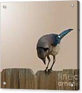 Blue Jay Eating Corn Acrylic Print