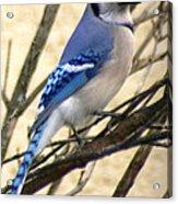 Blue Jay In A Bush Acrylic Print
