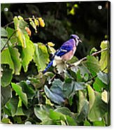 Blue Jay In A Tree Acrylic Print
