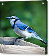 Blue Jay In Backyard Feeder Acrylic Print