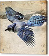 Blue Jay In Flight Acrylic Print by Ray Downing