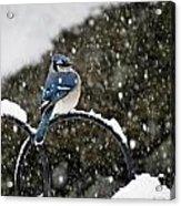 Blue Jay In Snow Storm Acrylic Print