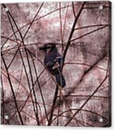 Blue Jay In The Willow Acrylic Print