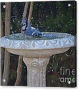 Blue Jay Loves To Splash Water Acrylic Print