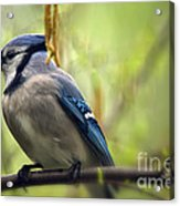 Blue Jay On A Misty Spring Day Acrylic Print