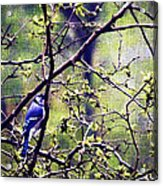 Blue Jay - Paint Effect Acrylic Print