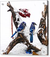 Blue Jays In Winter Acrylic Print