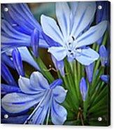 Blue Lilie Acrylic Print