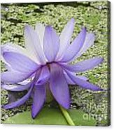 Blue Lotus Seen From Behind Acrylic Print