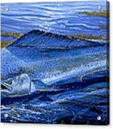 Blue Mahi Off0071 Acrylic Print