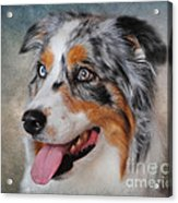 Blue Merle Australian Shepherd Acrylic Print