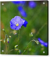 Blue Morning Flowers Acrylic Print