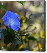 Blue Morning Glories Acrylic Print by Linda Unger