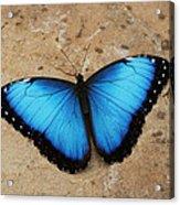 Blue Morpho #2 Acrylic Print