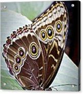 Blue Morpho Butterfly Costa Rica Acrylic Print