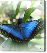 Blue Morpho Butterfly Dsc00575 Acrylic Print