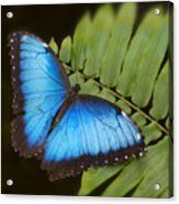 Blue Morpho Butterfly On Fren Dsc00441 Acrylic Print