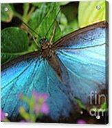Blue Morpho Acrylic Print