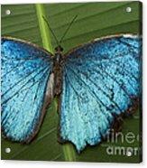 Blue Morpho - Morpho Peleides Acrylic Print