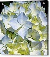 Blue Pastel Floral Art Prints Hydrangea Flowers Acrylic Print