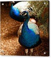 Blue Peacocks Acrylic Print