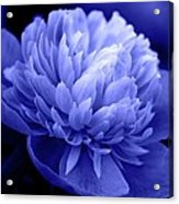 Blue Peony Acrylic Print