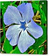 Blue Periwinkle In Rocca Al Mare Open Air Museum-estonia Acrylic Print