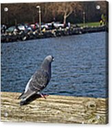 Blue Pigeon Acrylic Print
